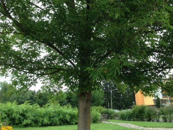 Eschenahorn (Acer negundo)