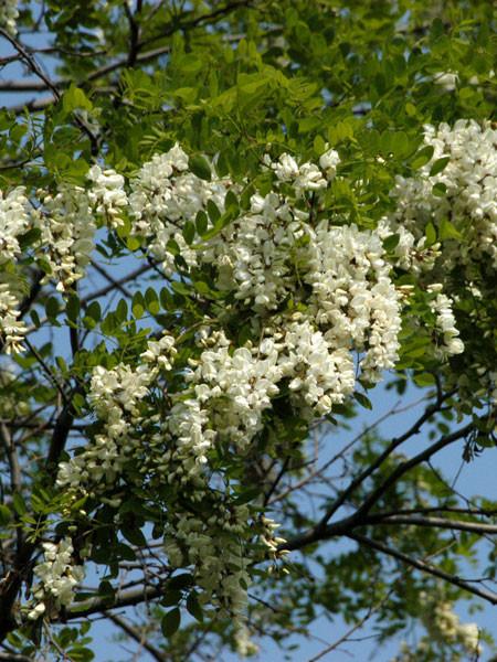 Robinie (Robinia pseudoacacia) Scheinakazie