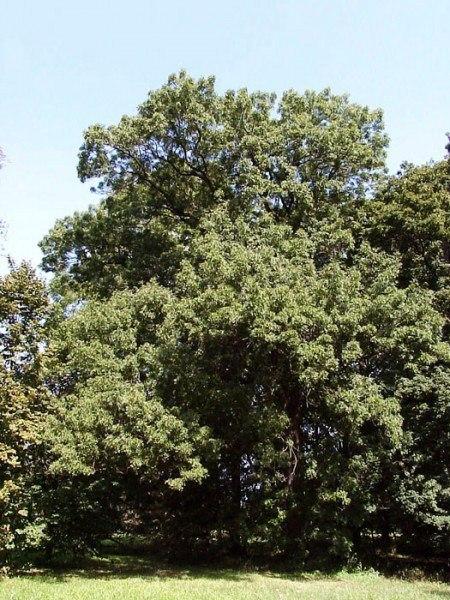Rot-Esche (Fraxinus pennsylvanica)
