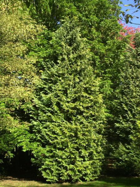 Lawsons Scheinzypresse (Chamaecyparis lawsoniana)