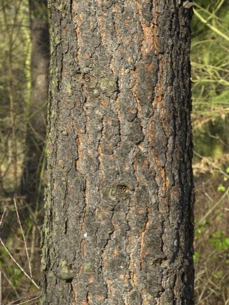 Gelb-Kiefer, Ponderosa-Kiefer (Pinus ponderosa)
