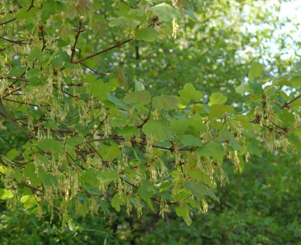 Schneeball-Ahorn (Acer opalus)