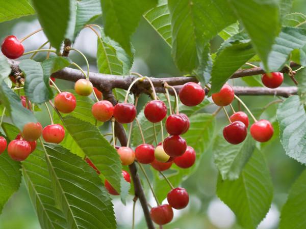 Wildkirsche (Prunus avium) Vogelkirsche - XL Produkt