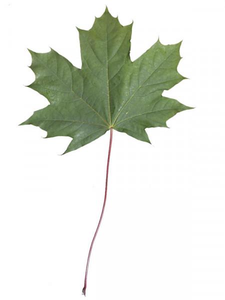 Spitzahorn (Acer platanoides) - XL Produkt