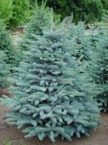 picea-pungens-glauca56407583bd3b0