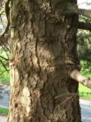 Silbertanne/Koloradotanne, Grautanne (Abies concolor)