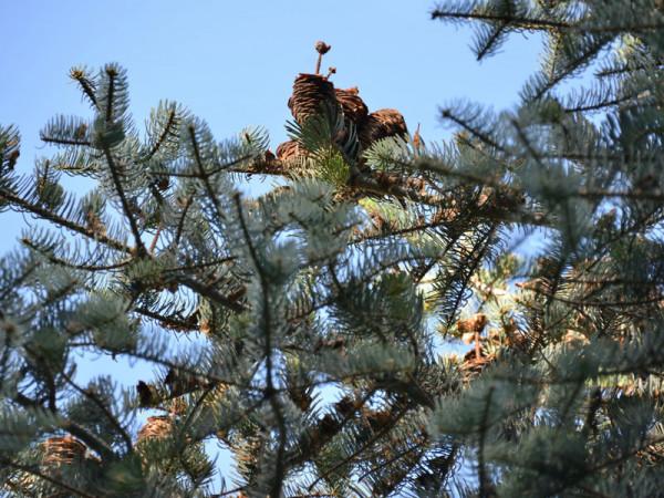 Silbertanne, Koloradotanne , Grautanne (Abies concolor)