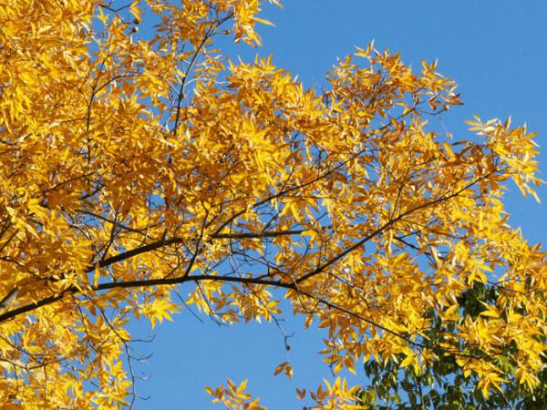 Pekannuss (Carya illinoiensis)