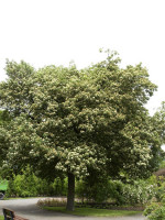 Elsbeere (Sorbus torminalis)