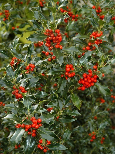 Europäische Stechpalme (Ilex aquifolium)