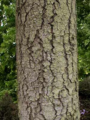 Nordmanntanne (Abies nordmanniana) Samenherkunft: Ambrolauri/Borshomi