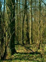 ulmus-carpinifolia-forst