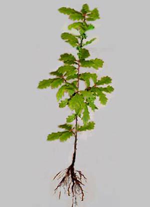 Stieleiche (Quercus robur) - XL Produkt