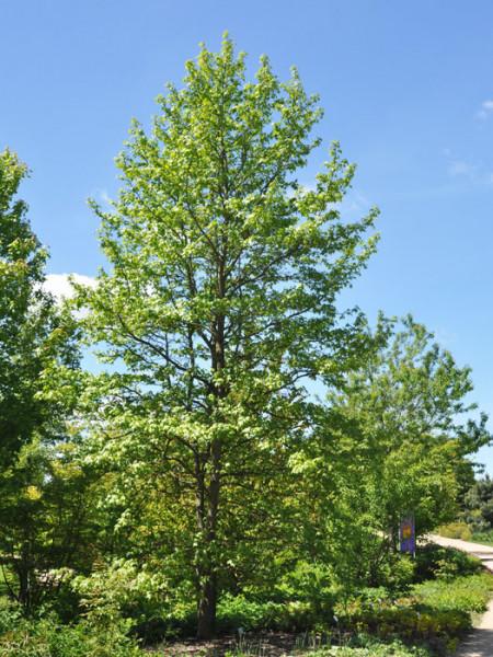 Amberbaum (Liquidambar styraciflua)