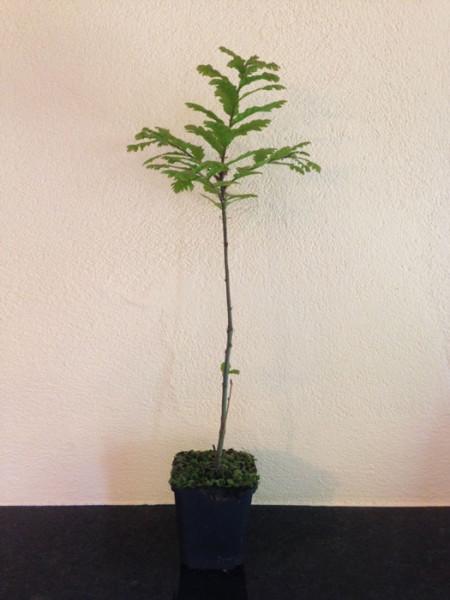 Zerreiche (Quercus cerris)