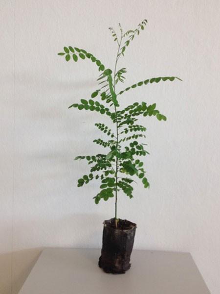 Schnurbaum (Sophora japonica)