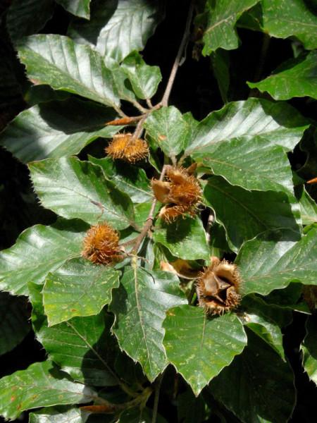 Rotbuche (Fagus sylvatica) - XL Produkt