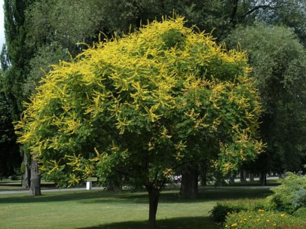 Blasenesche (Koelreuteria paniculata)