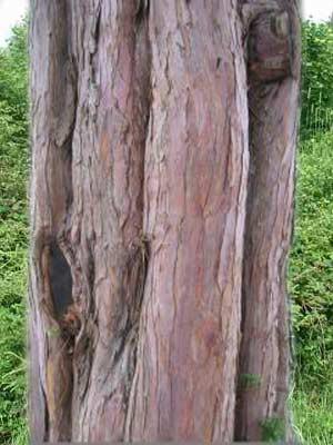Gemeine Eibe (Taxus baccata)