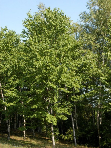 Lindenblättrige Birke (Betula maximowicziana)