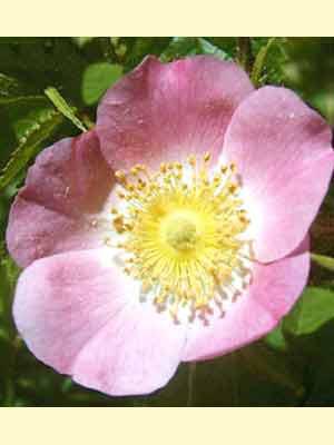 Gemeine Heckenrose (Rosa canina) Hundsrose - Hagebutte