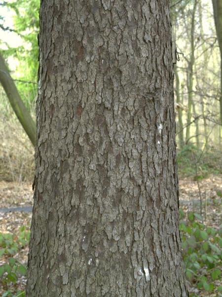 Sitkafichte (Picea sitchensis)