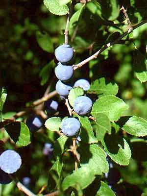 Schlehe, Schlehdorn (Prunus spinosa) Schwarzdorn