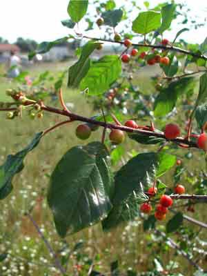 Faulbaum (Rhamnus frangula)