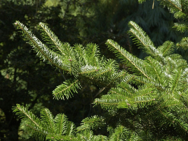 Veitchstanne (Abies veitchii)