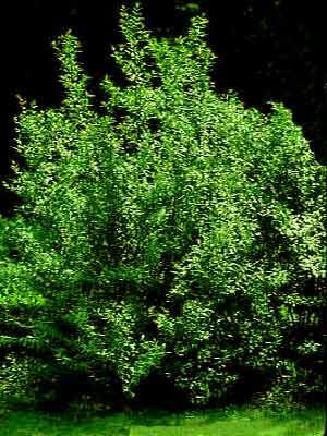Gemeiner Liguster (Ligustrum vulgare)