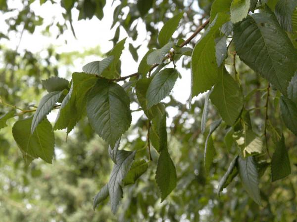 Flatterulme (Ulmus laevis) - XL-Produkt