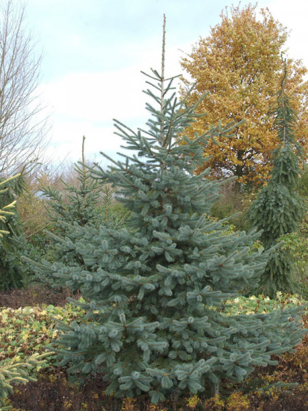 Engelmann-Fichte (Picea engelmannii)