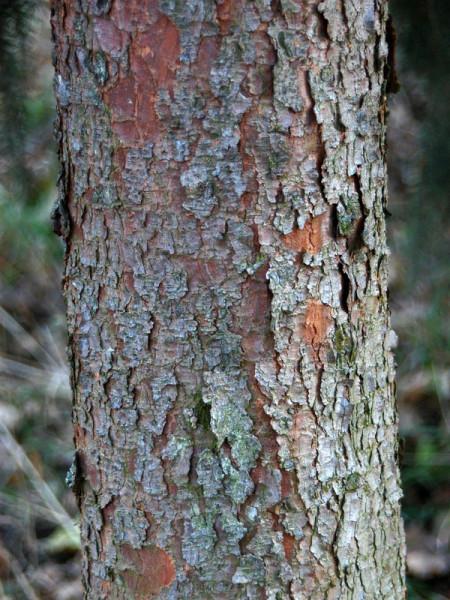Serbische Fichte (Picea omorica)