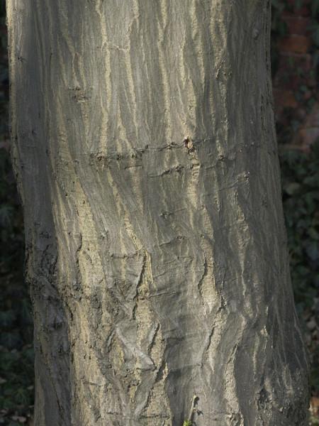Hainbuche, Weissbuche (Carpinus betulus)