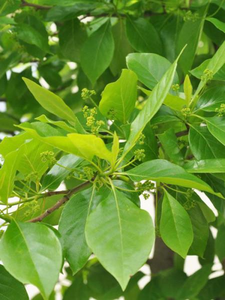 Tupelobaum (Nyssa sylvatica)