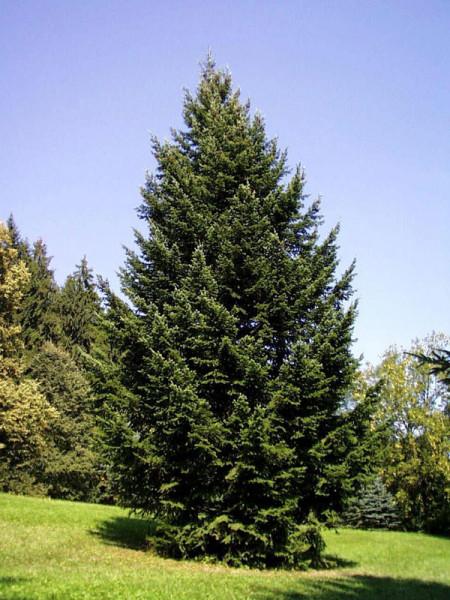 Weissfichte (Picea glauca)
