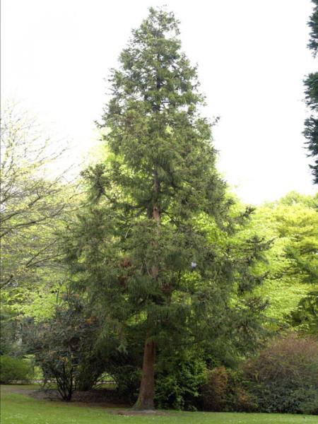 Japanische Sicheltanne (Cryptomeria japonica)