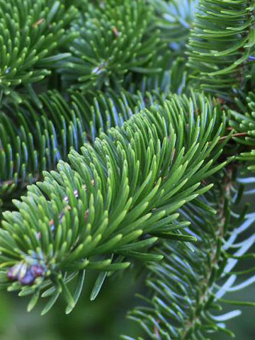Frasertanne (Abies fraseri)