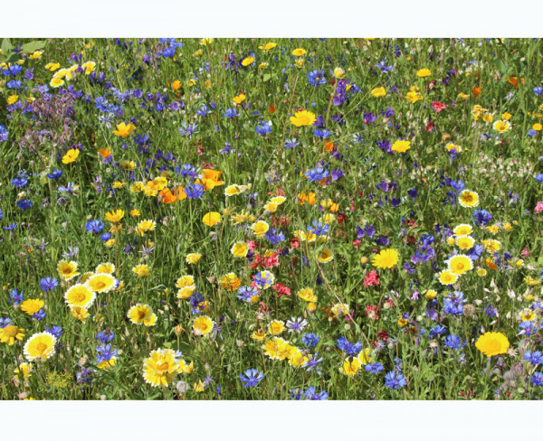 Blumenwiese - Falterfreude