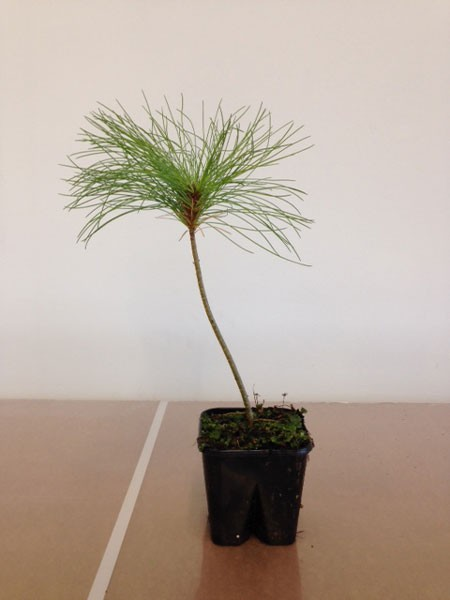Tränenkiefer (Pinus wallichiana)