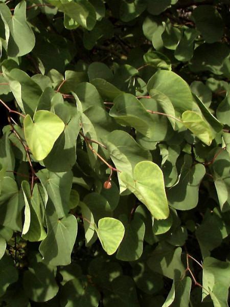 Judasbaum (Cercis siliquastrum)