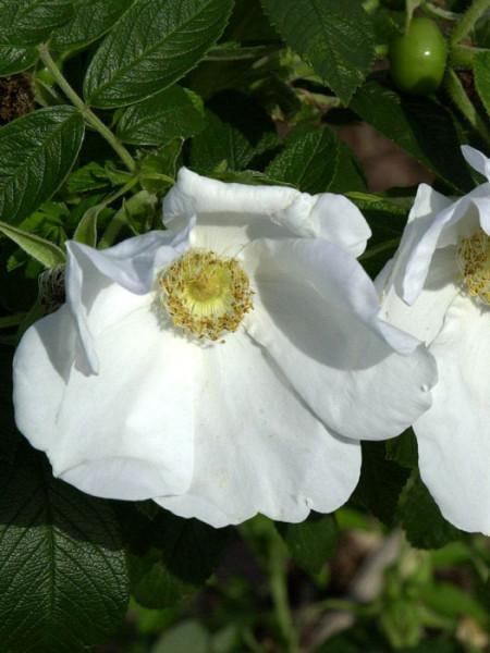 Weiße Kartoffelrose/Apfelrose (Rosa rugosa 'Alba')