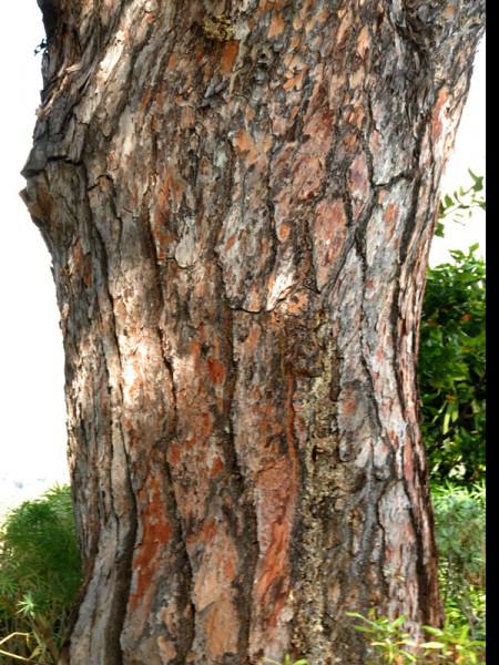Pinie (Pinus pinea)