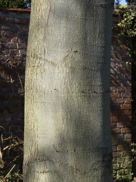 Scharlach-Eiche (Quercus coccinea)