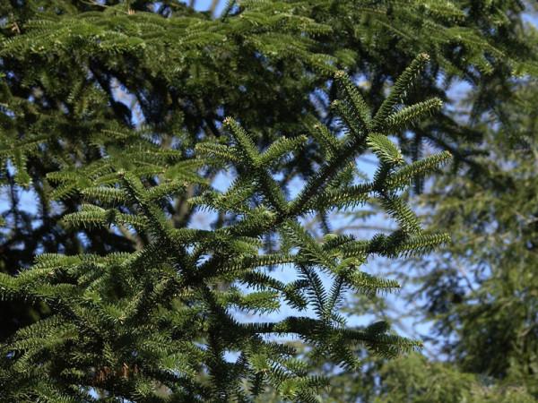 Kilikische Tanne (Abies cilicia)