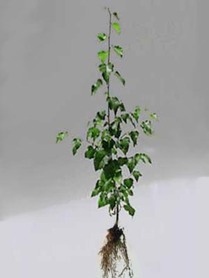 Moorbirke (Betula pubescens)