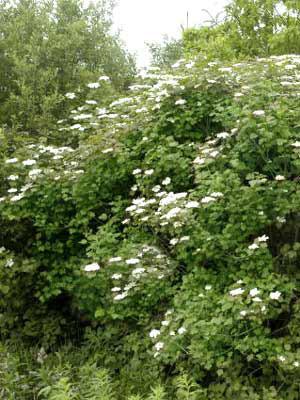Gemeiner Schneeball (Viburnum opulus)