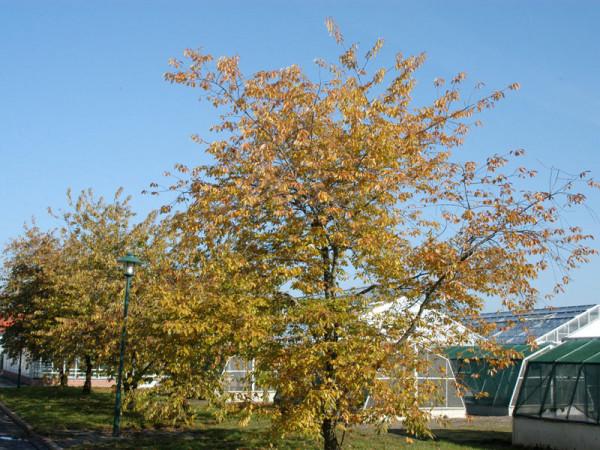 Spätblühende Traubenkirsche (Prunus serotina)