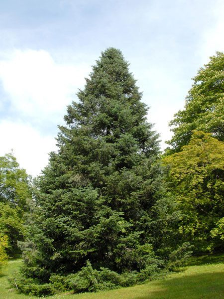 Purpur-Tanne (Abies amabilis)