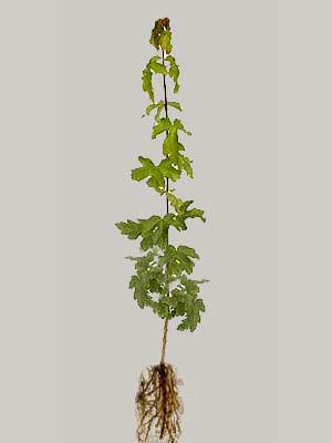 Feldahorn (Acer campestre)